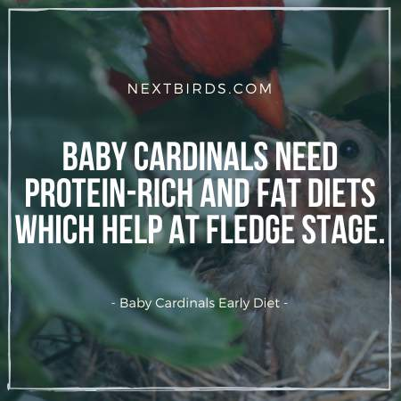 What do Baby Cardinals Eat?
