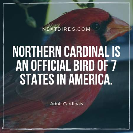 Northern Cardinals are official State Birds of 7 States