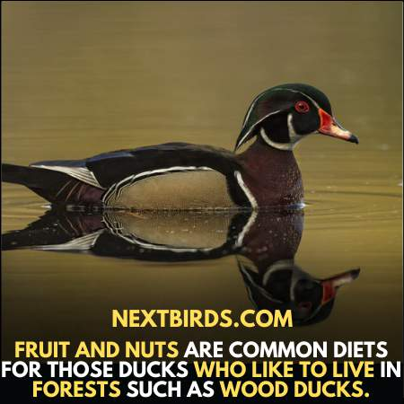 Wood ducks like to eat fruits and Nuts