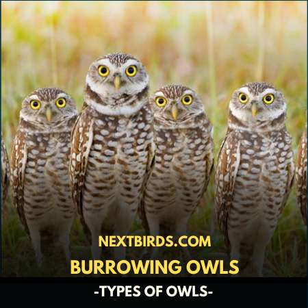 BURROWING OWLS (TYPES OF OWLS)