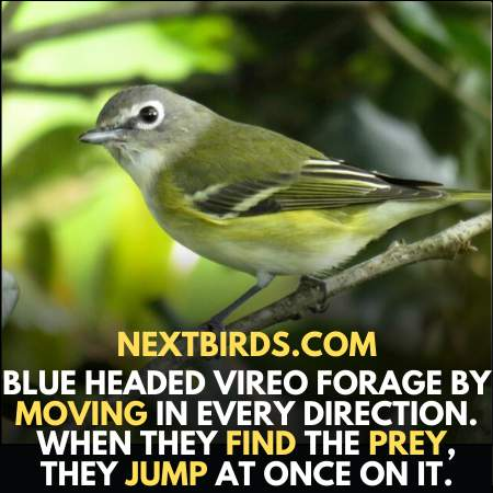 Blue headed Vireo jump when they find prey