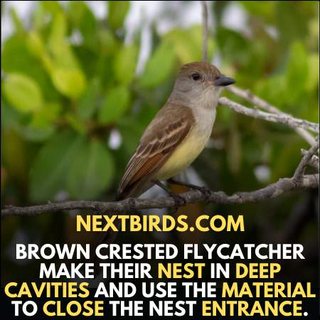 Brown crested is a among the small Louisiana Birds.