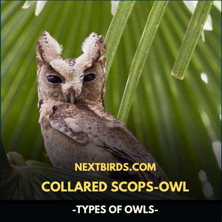 COLLARED SCOPS OWL (TYPES OF OWLS)