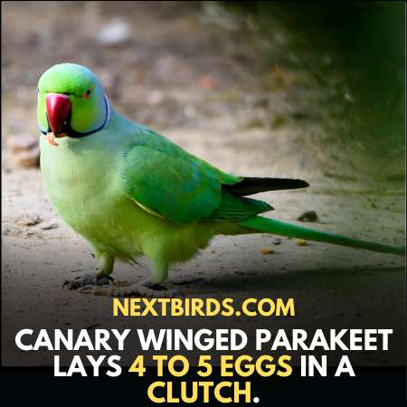 Canary Winged Parakeets lays how many eggs in a clutch