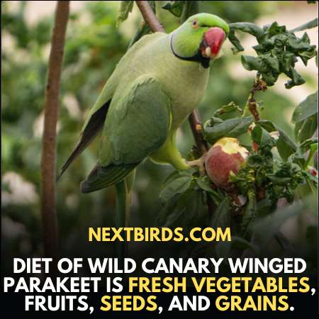 Diet of Canary Winged Parakeets