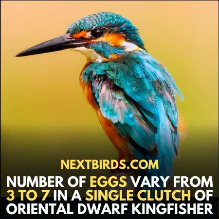Number of eggs of Oriental Dwarf Kingfisher in a clutch