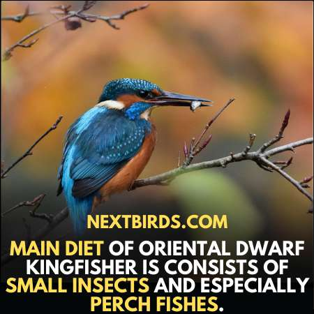 Diet of Oriental Dwarf Kingfisher consist of small insects