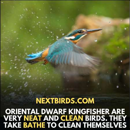 Oriental Dwarf are very neat and clean birds.