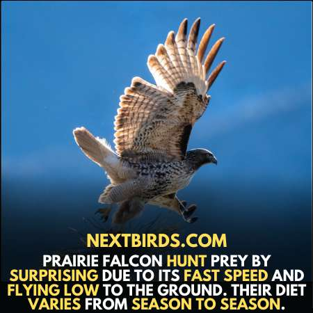 Prairie falcon surprise prey with his fast speed.