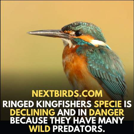 Ringed Kingfisher specie is declining due to predators in the species of Louisiana Birds.