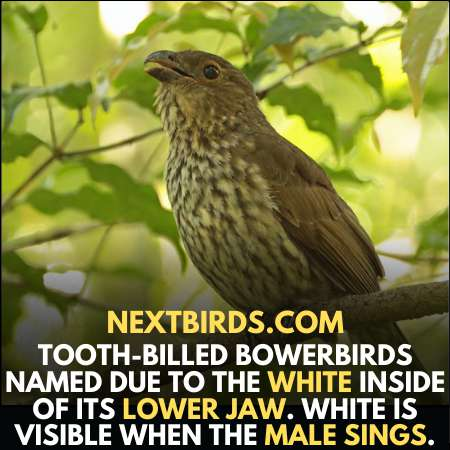 Tooth-billed bowerbirds sing to attract female