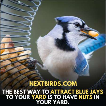 Use Nuts To Attract Blue Jays