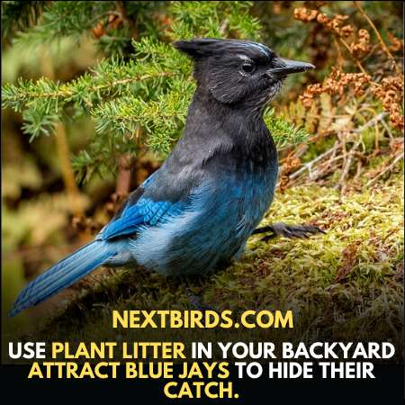Use Plant Litter To Attract Blue Jays