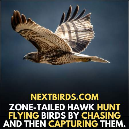 Zone Tailed Hawk hunt its preys by chasing them