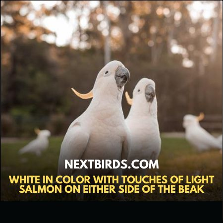 GoffinCockatoo is white in color with touches of light salmon on either side of the beak