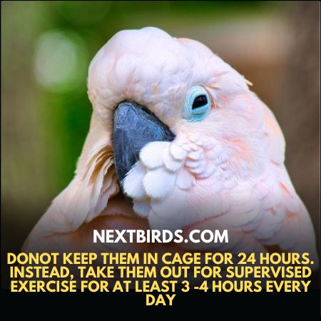 Donot keep Goffin Cockatoo in cage for 24 hours. Instead, take them out for supervised exercisefor at least 3 -4 hoursevery day