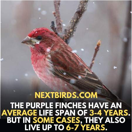 Average lifespan of Finches