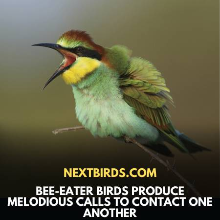 Bee-Eater Birds Produce Various Melodious Sounds