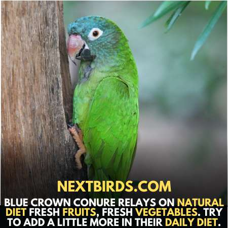 Blue Crown Conure Rely On Natural Diet