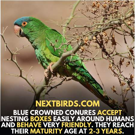 Blue Crown Conure Use to live in birdhouse