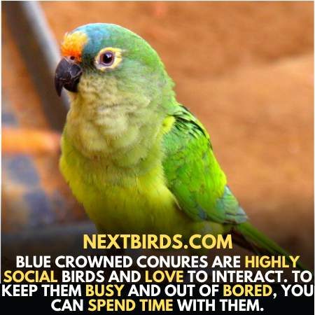 Blue Crown Parrots Highly Social and Love to interact