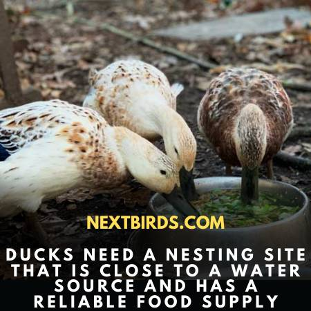Ducks Need Proper Care & Feed To Lay Eggs