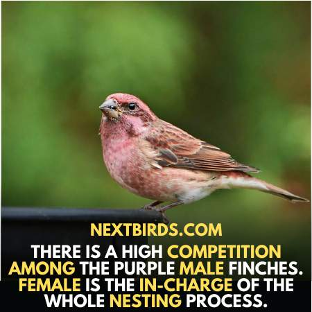 Competition between male Purple Finches is high