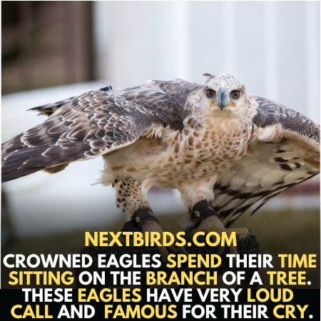 Crown Eagles famous for cry