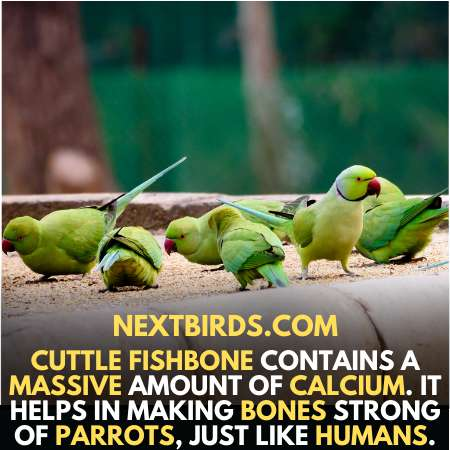 Cuttle fish-bone is special diet for parakeets