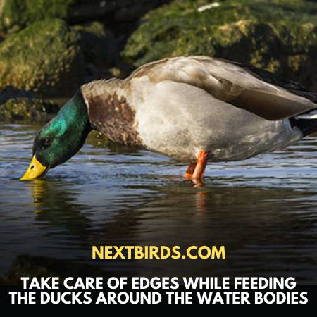 What To Feed Wild Ducks - Take Care Near Water