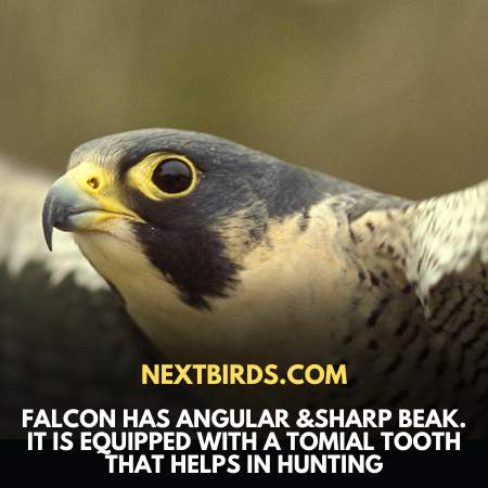 Characteristic Features Of Falcon