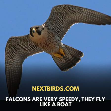 Falcons Fly Fast