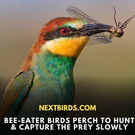 Bee-Eater Bird Comes Out For Eating In The Form Of Flock