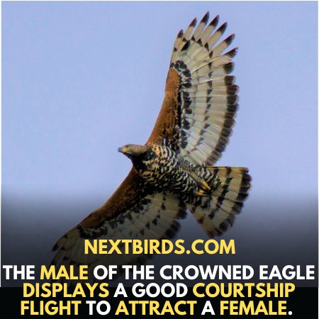 Male African Crown Eagles attract females
