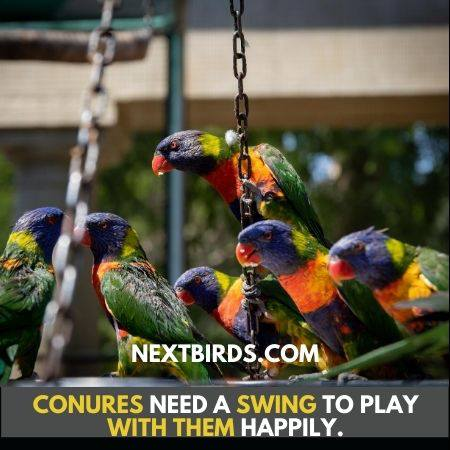 Crimson Bellied Conure are playful with swing for joy.