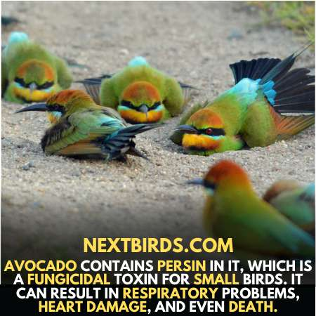 Toxic foods for parakeets