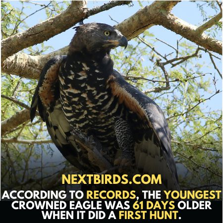Youngest African crown eagle hunt