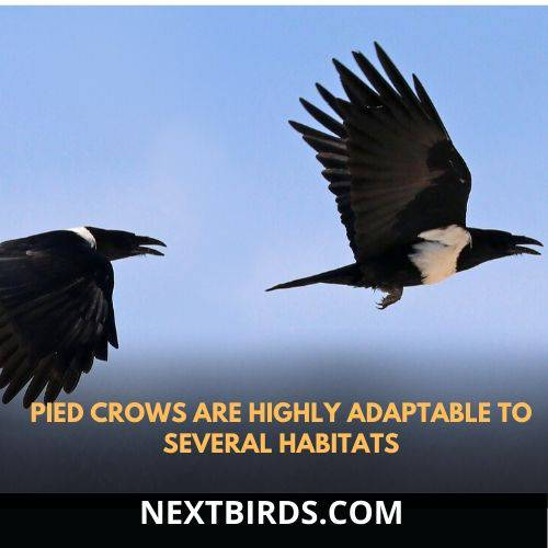 pied crow is adaptable to several habitats