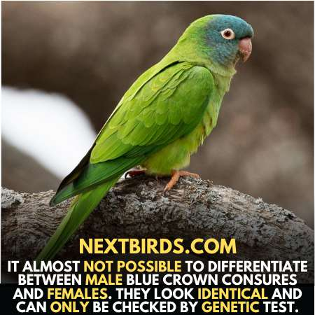 differentiate between male and female Conure