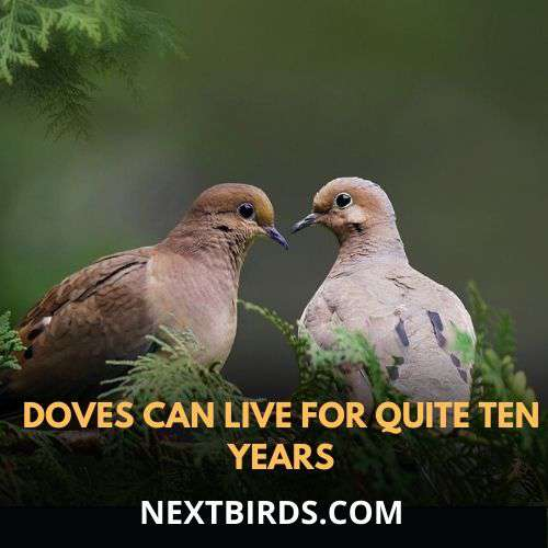 doves average life is 10 years