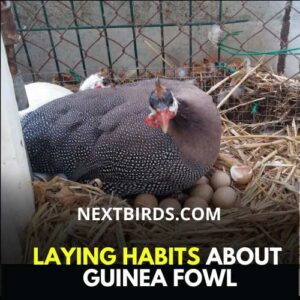 laying habits of guinea fowl