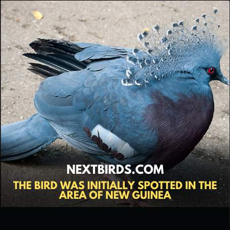 Victoria Crowned Pigeon was initially spotted in the area of New Guinea
