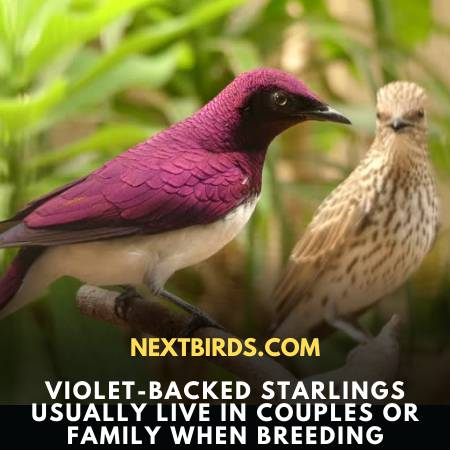 Family Life Of Violet-Backed Starling