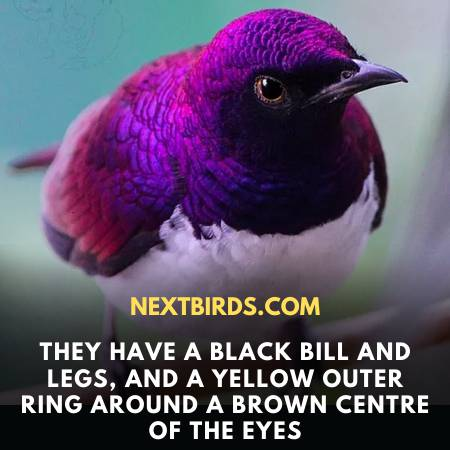 Features Of Violet-Backed Starling