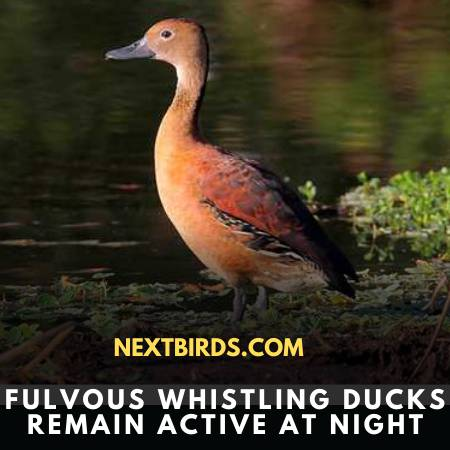 Fulvous Whistling-Duck Is An Active Bird