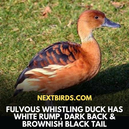 Brownish Black Tailed Fulvous Whistling-Duck