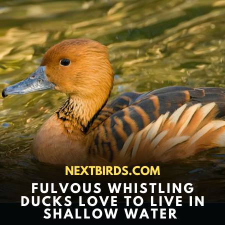 Fulvous Whistling-Duck In Water