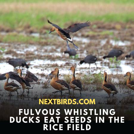 Fulvous Whistling-Duck In Rice Field