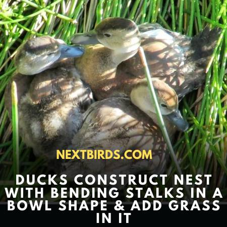 Grass Nest For Fulvous Duck