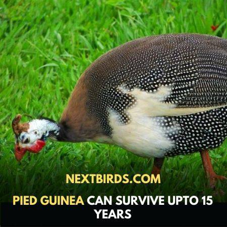 facts about guinea fowl